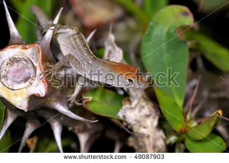 "green Anole"" Stock Photos, Royalty."