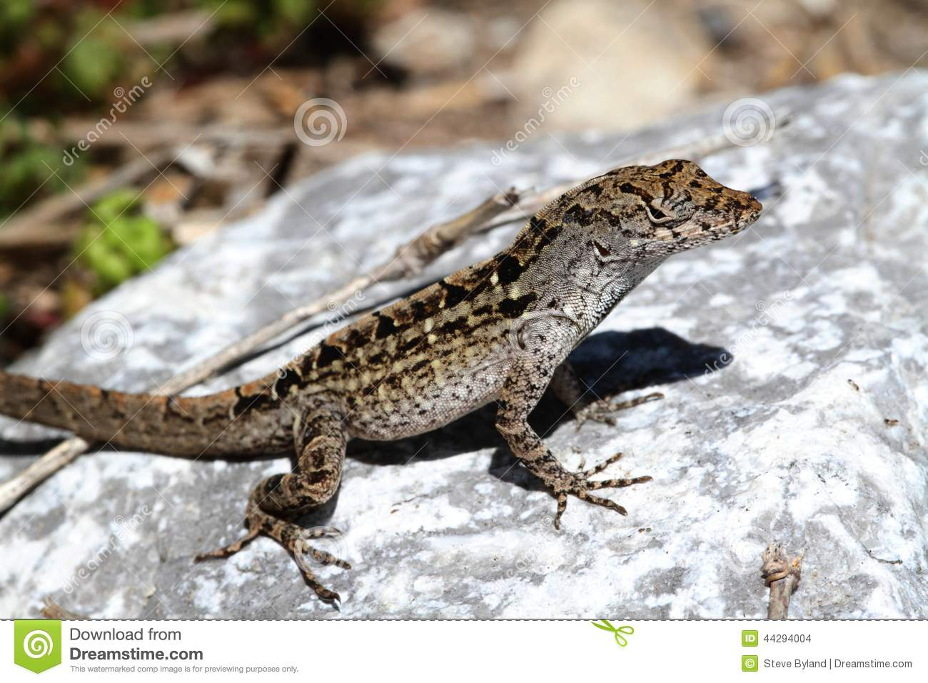 Brown Anole Lizard (Anolis Sagrei) Stock Photo.