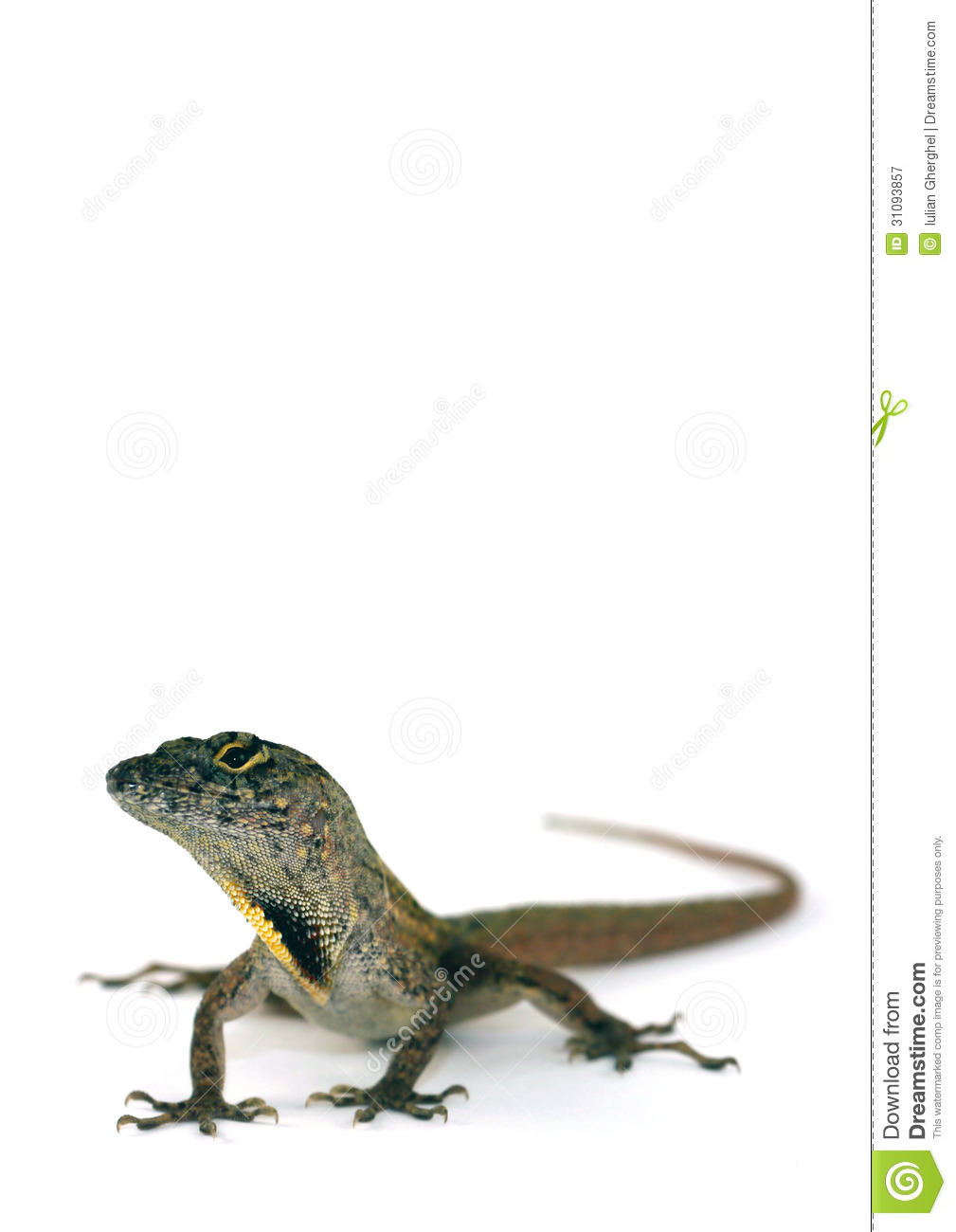 Brown Anole Lizard Royalty Free Stock Photography.