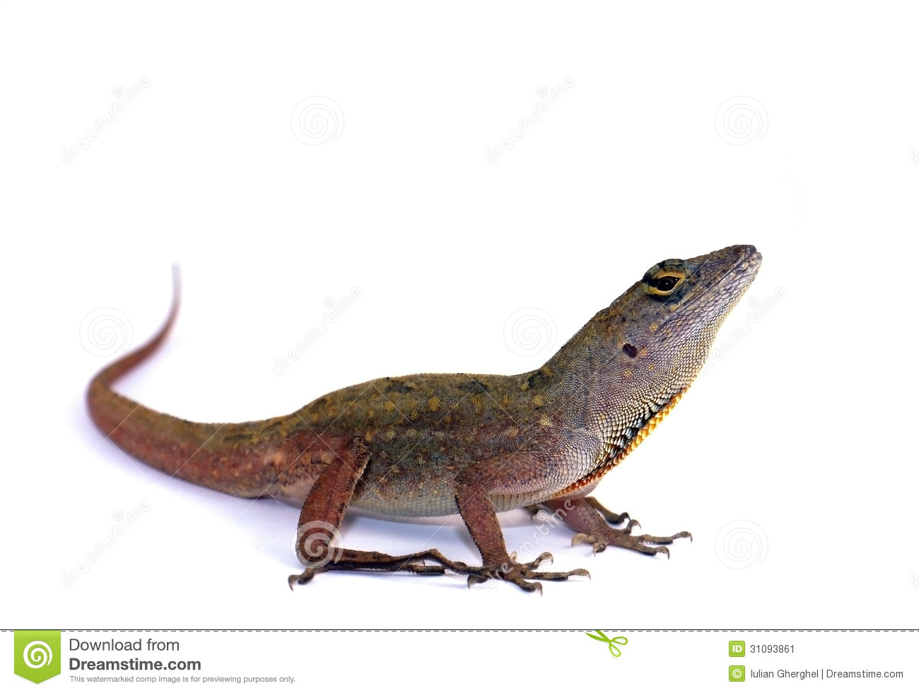 Brown Anole Lizard Stock Image.