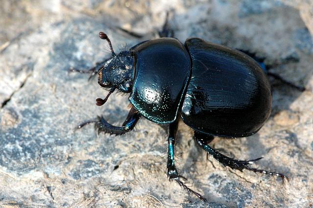 Anoplotrupes stercorosus (Dor beetle) (Geotrupes stercorosus).
