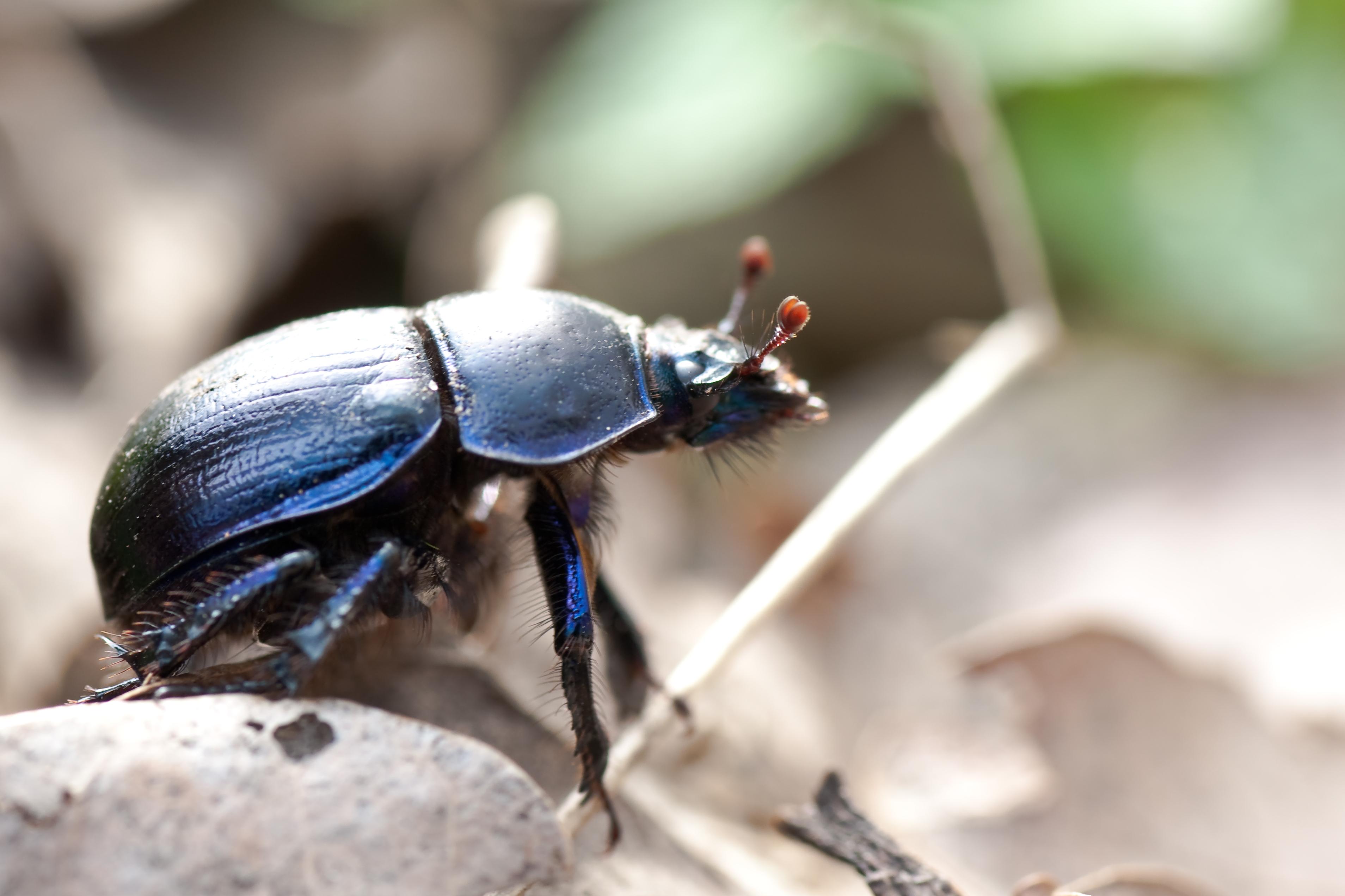 File:Anoplotrupes stercorosus 02 (MK).jpg.