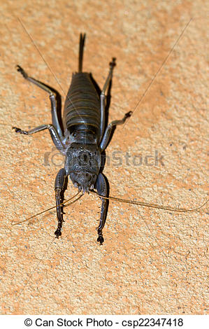 Stock Photography of Grey weta.
