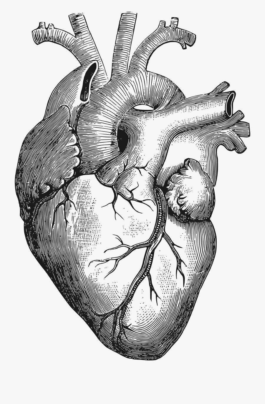 Anatomical Heart Vector Png , Free Transparent Clipart.