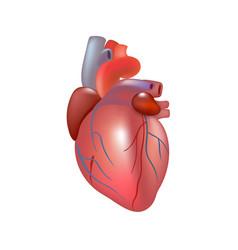 Human Heart Transparent Background & Free Human Heart.