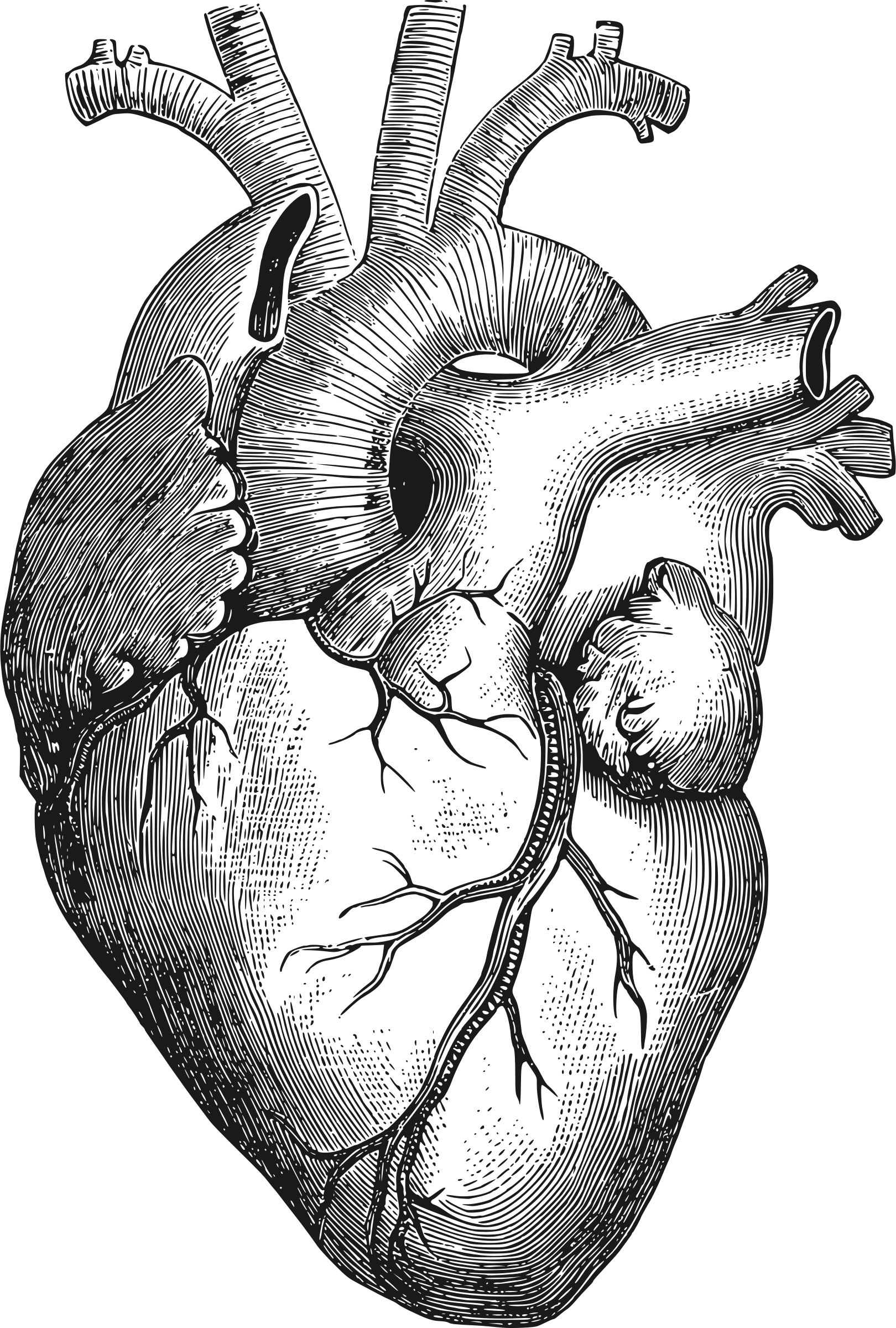 Anatomy Heart Art Png & Free Anatomy Heart Art.png.