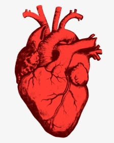 Anatomical Heart PNG Images, Free Transparent Anatomical.