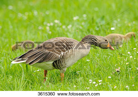 Stock Photography of Gray goose (Anser anser) family in a meadow.
