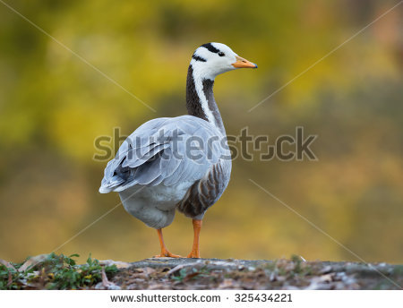 Anser Goose Stock Photos, Images, & Pictures.