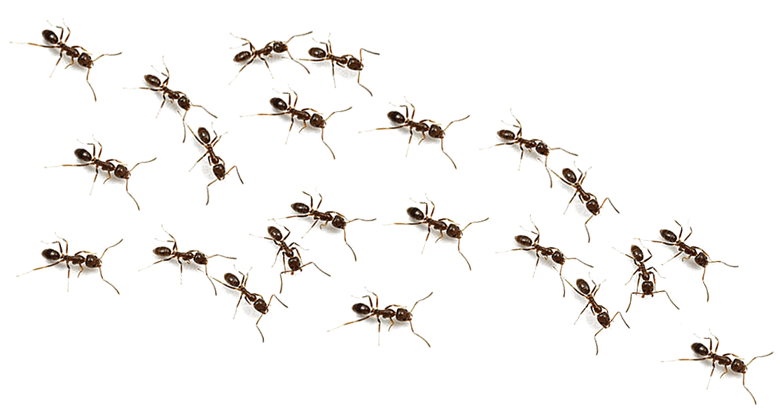 Ants Png Transparent Background Ants Png.