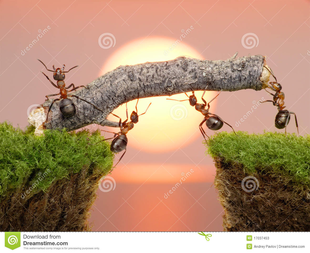 Team Of Ants Work Constructing Bridge, Teamwork Stock Photos.