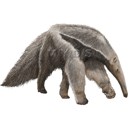 Giant Anteater clipart graphics (Free clip art.