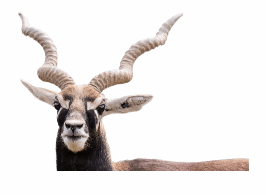 Blackbuck Black Buck Png.