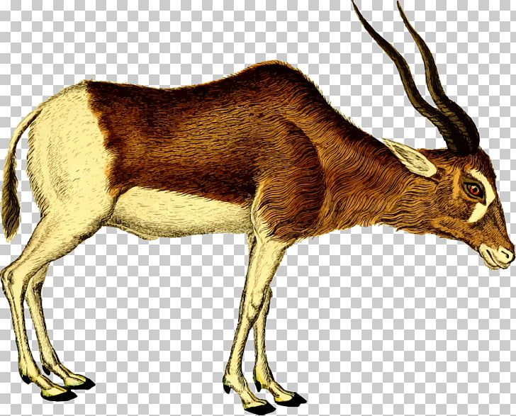 Antelope Pronghorn Deer , Clipped PNG clipart.