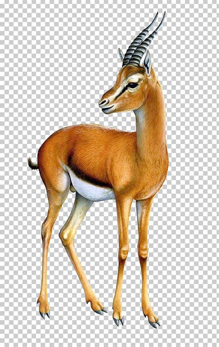 Gazelle Antelope PNG, Clipart, Animals, Antelope, Clip Art, Cow Goat.