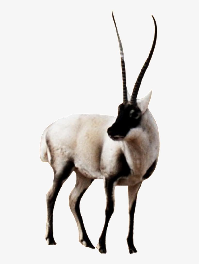 Hd Beautiful Tibetan Antelope Static Png.