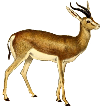 Antelope PNG Images.