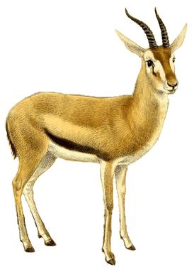 File:The book of antelopes (1894) Gazella rufifrons (white.