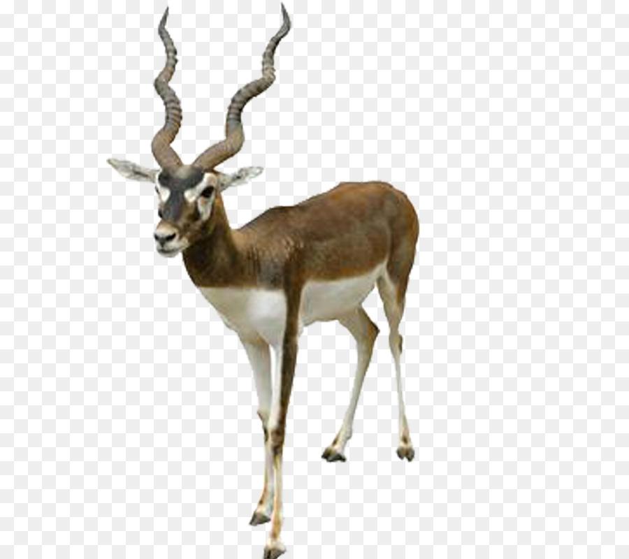 Reindeer Cartoon png download.