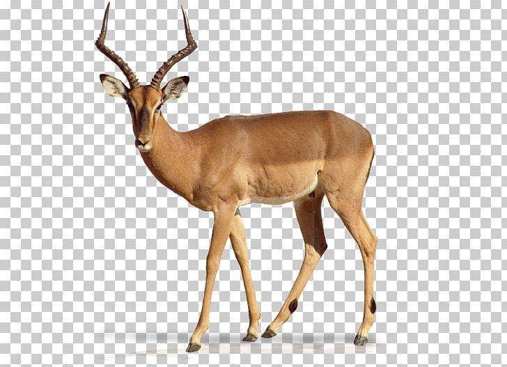 Impala Antelope Gazelle Elk Deer PNG, Clipart, Animal, Animals.