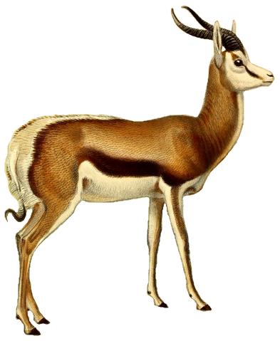 File:The book of antelopes (1894) Antidorcas euchore (white.