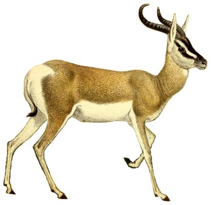 Mammal,Vertebrate,Antelope,Wildlife,Gazelle,Cow.