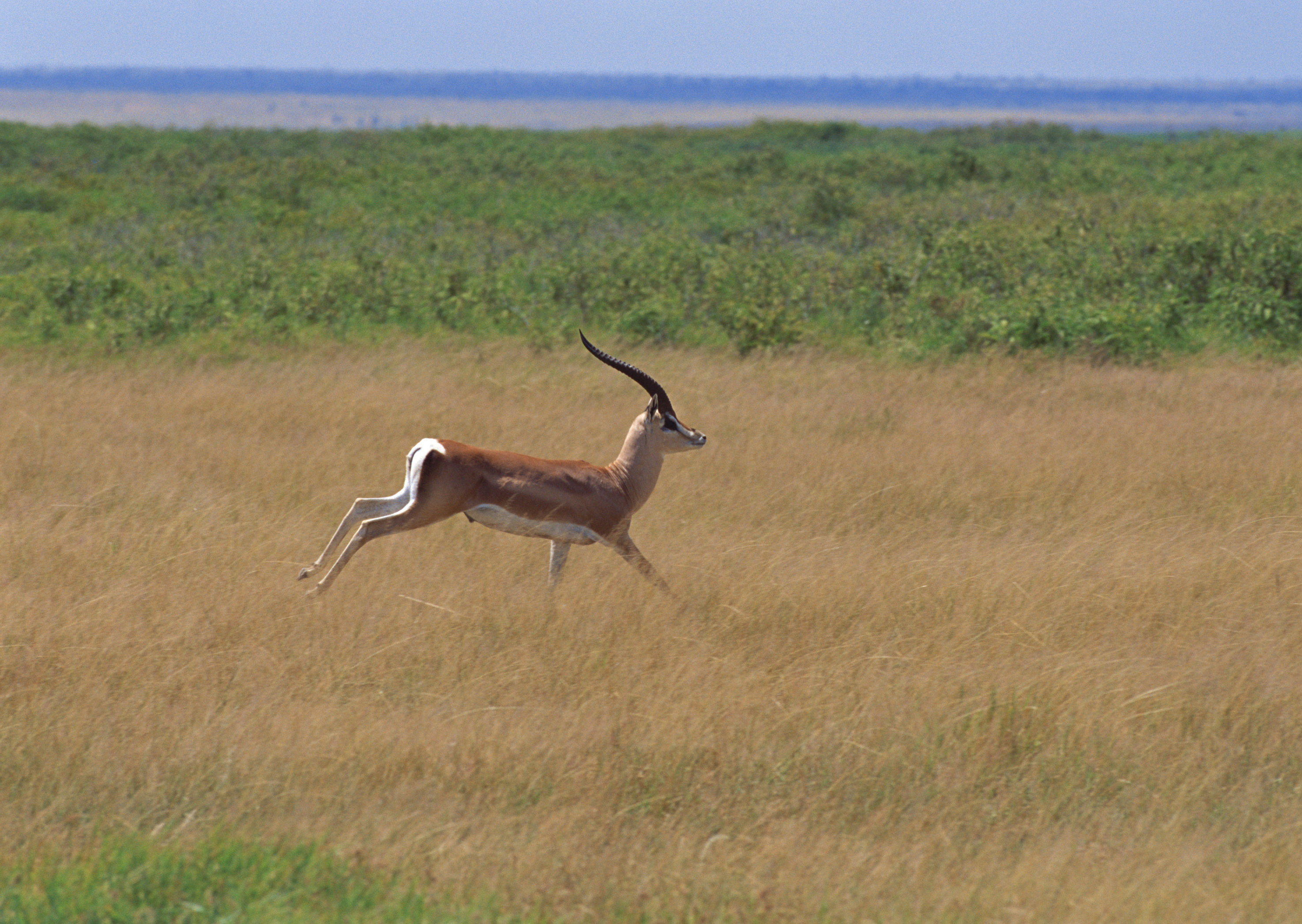 Running Antelope Wallpaper.