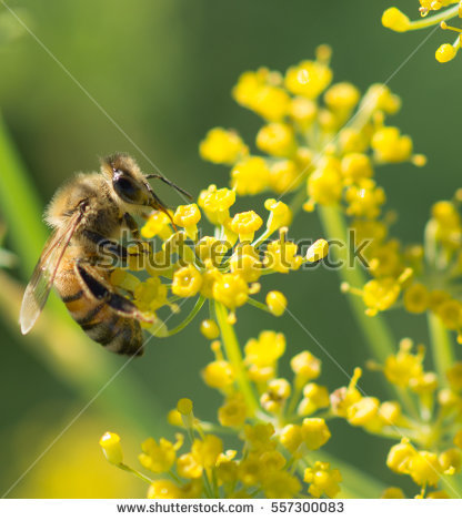 Bee Flower Stock Photos, Royalty.