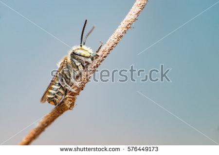 Megachile Stock Photos, Royalty.