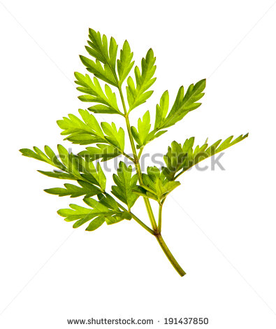 Chervil Stock Photos, Royalty.