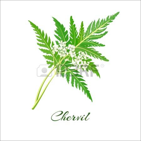 68 Chervil Stock Illustrations, Cliparts And Royalty Free Chervil.