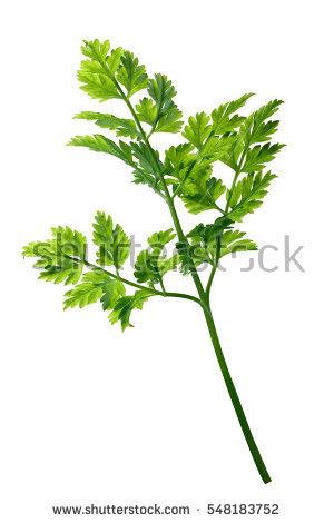 Apiaceae Fotografie, snímky pro členy zdarma a vektory.