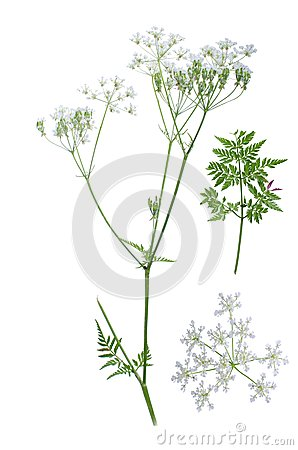 Anthriscus Sylvestris Stock Photo.