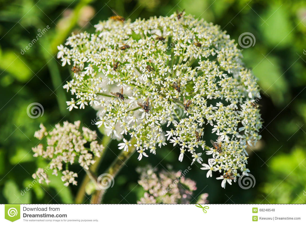 Insects On Cow Parsley Flower (Anthriscus Sylvestris) Stock Photo.