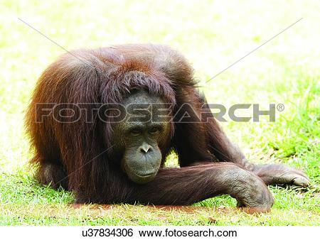 Stock Images of ape, attitude, anthropoid u37834306.