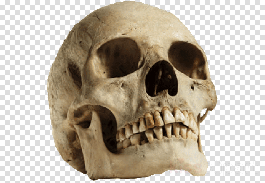 skull bone jaw head skeleton clipart.