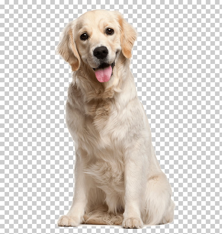 Golden Retriever Puppy Dog Daze Industrial Stock photography.