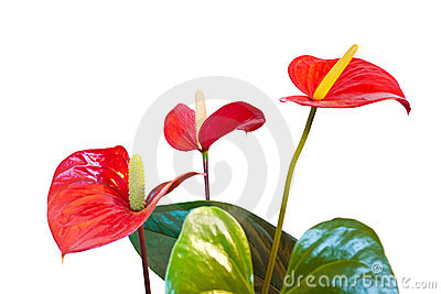 Three Red Anthurium Flowers. Royalty Free Stock Photos.
