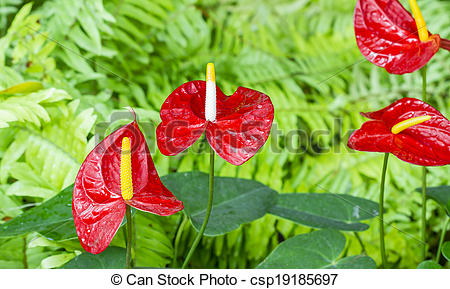 Stock Photographs of red Anthurium flower in botanic garden.