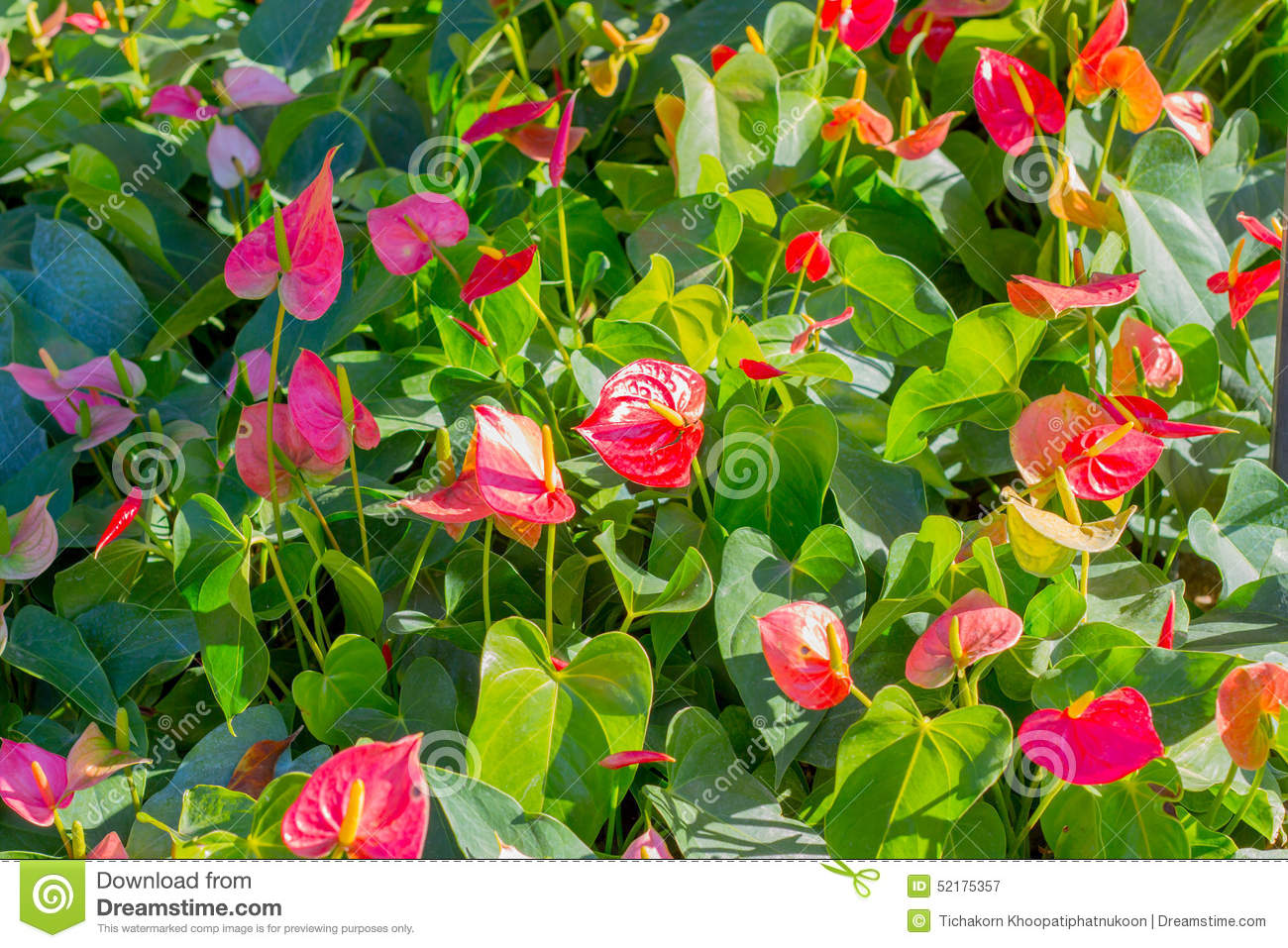 Red Anthurium Flowers In The Garden Stock Photo.