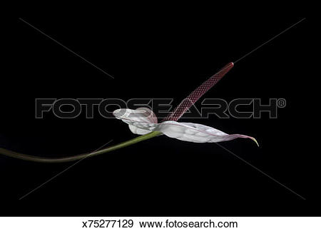 Stock Photograph of Dramatically lit Flamingo Lily, Anthurium.