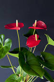Stock Photograph of Red flamingo lily (Anthurium andraeanum.