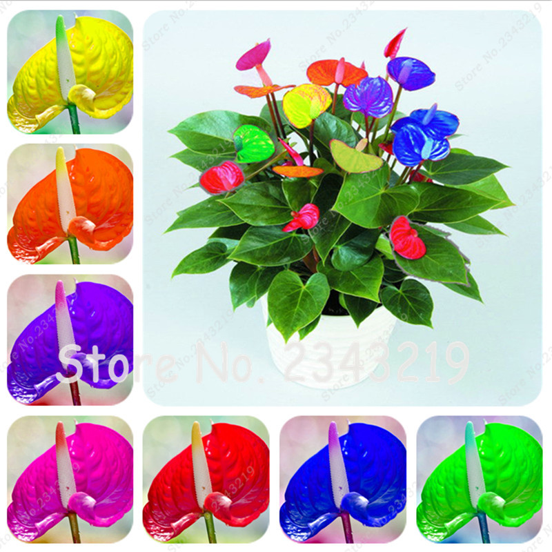 High Quality Anthurium Small Plants.