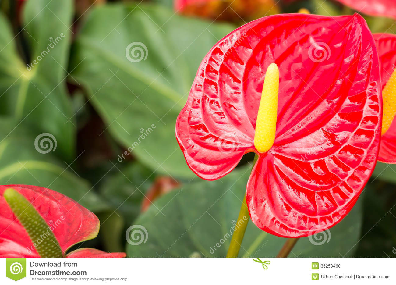 Anthurium (Anthurium Andraeanum) Stock Photo.