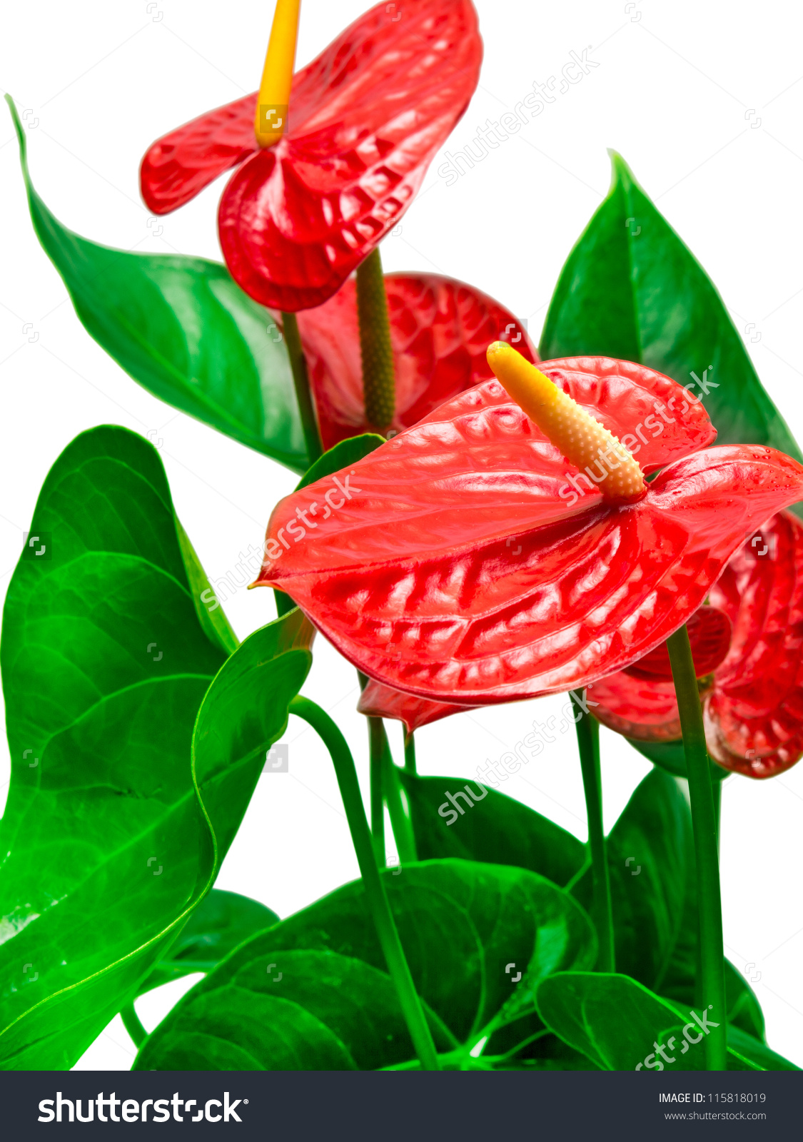 Red Anthurium Flower Isolated On White Stock Photo 115818019.