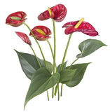 Anthurium Stock Illustrations.