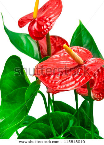 Anthurium Plant Stock Photos, Royalty.