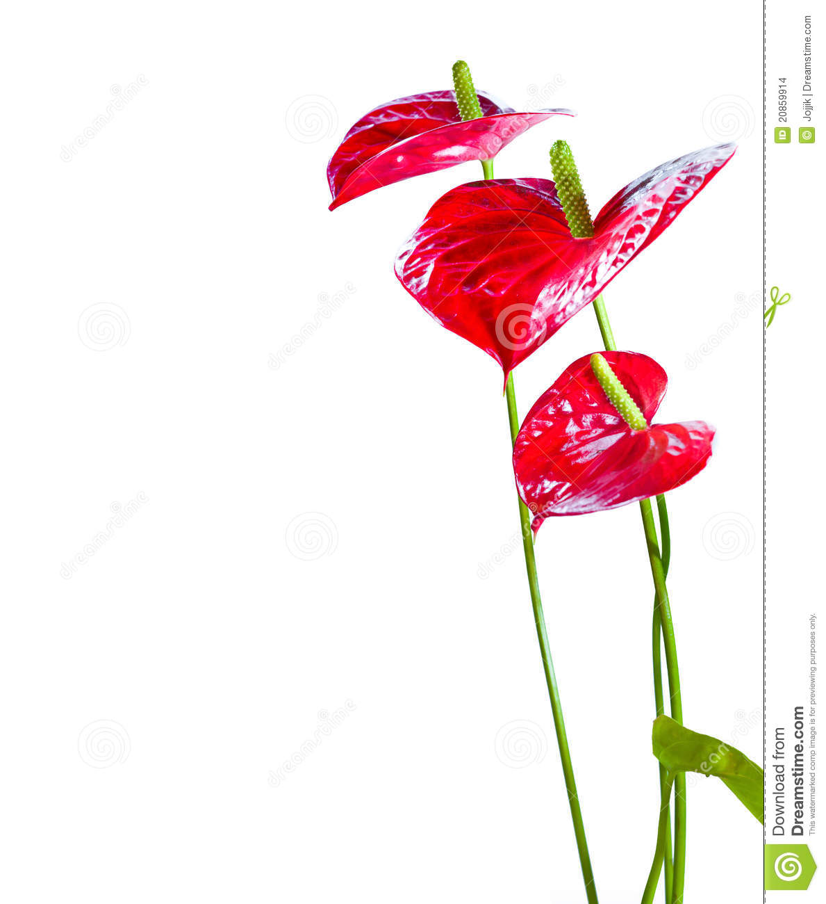 Anthurium/Flamingo Flowers Stock Images.