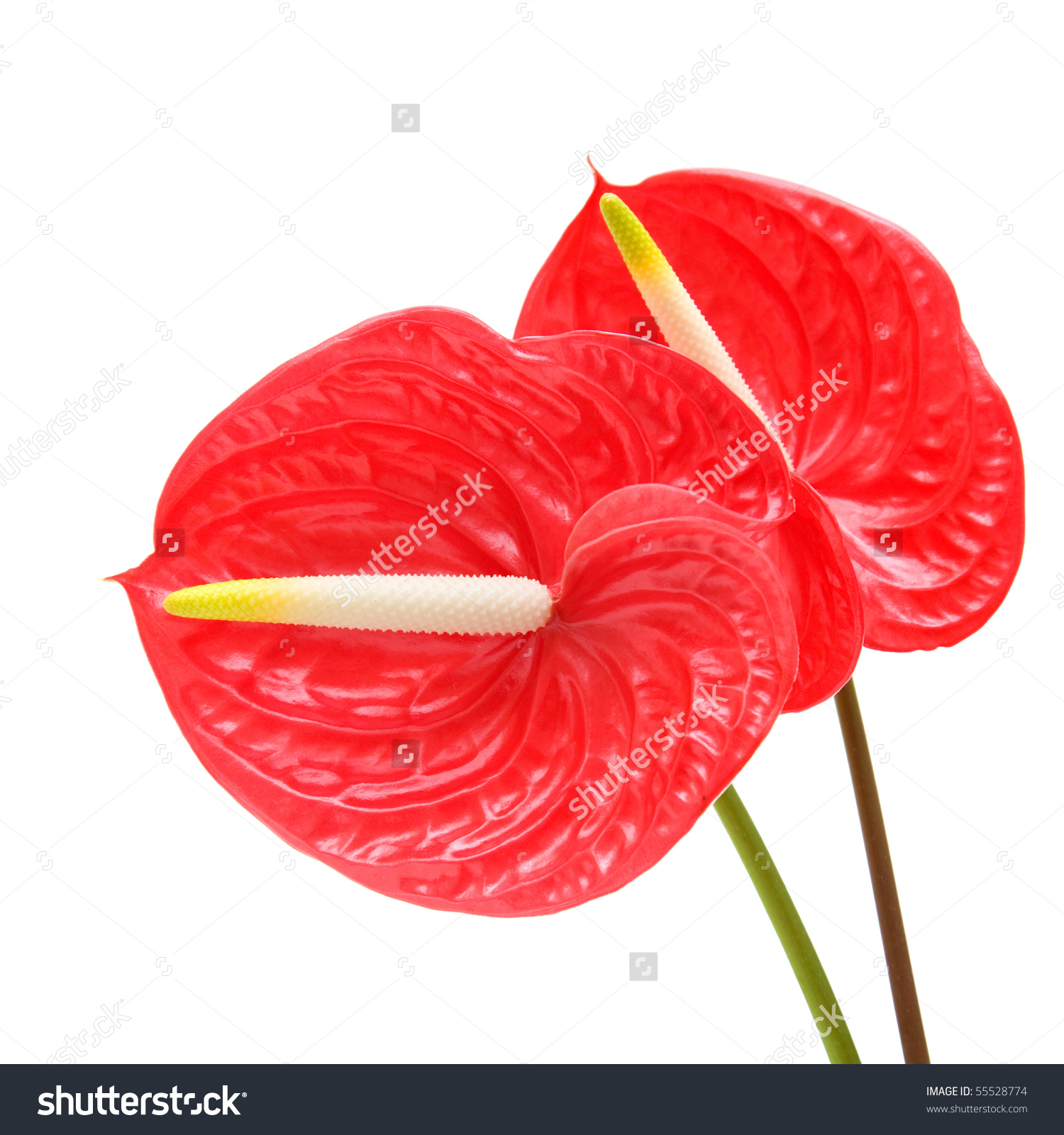 Red Anthurium Flamingo Flower Boy Flower Stock Photo 55528774.