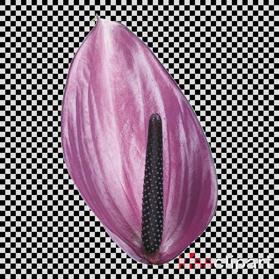 purple violet plant anthurium flower clipart.
